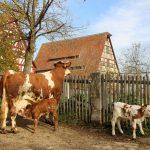 Die Kälbchen Brownie und Brösel im Fränkischen Freilandmuseum